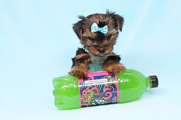 Cheese - Teacup Yorkie Puppy has found a good loving home with Efren from Norwalk, CA 90650-29371