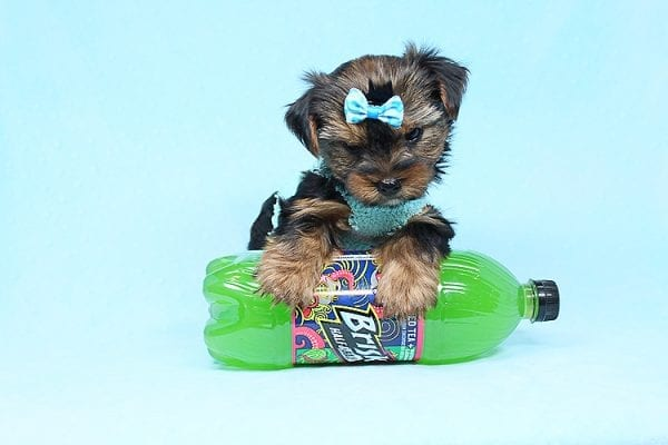 Cheese - Teacup Yorkie Puppy