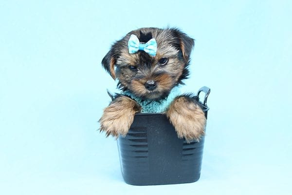 Cheese - Teacup Yorkie Puppy has found a good loving home with Efren from Norwalk, CA 90650-29369