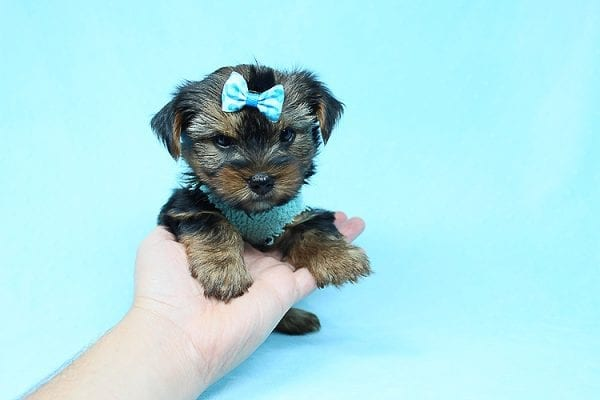 Cheese - Teacup Yorkie Puppy has found a good loving home with Efren from Norwalk, CA 90650-29367