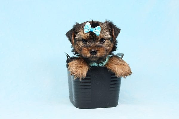 Cheese - Teacup Yorkie Puppy has found a good loving home with Efren from Norwalk, CA 90650-29374