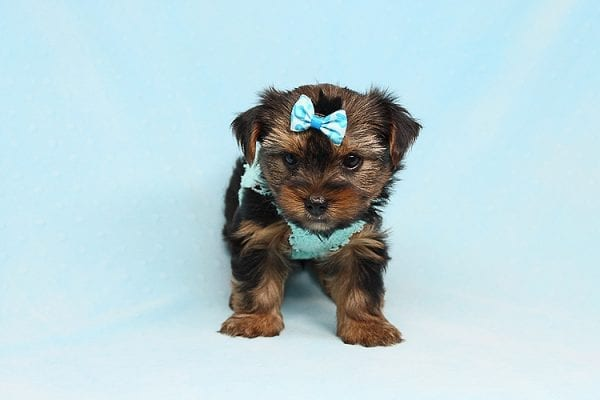 Cheese - Teacup Yorkie Puppy has found a good loving home with Efren from Norwalk, CA 90650-29372