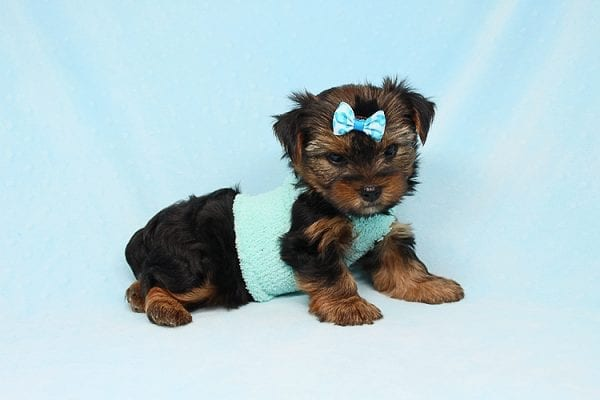Cheese - Teacup Yorkie Puppy has found a good loving home with Efren from Norwalk, CA 90650-29375