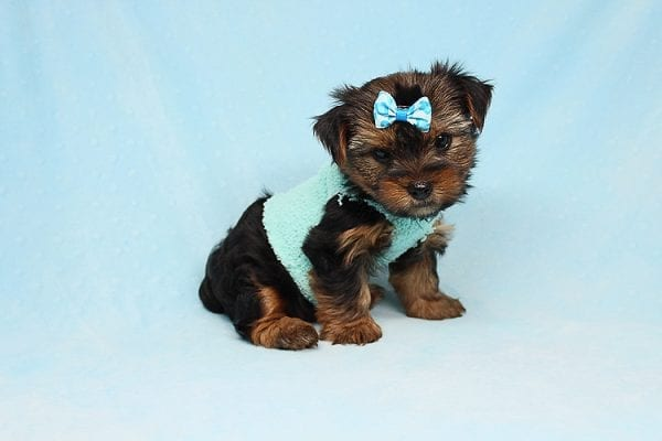 Cheese - Teacup Yorkie Puppy has found a good loving home with Efren from Norwalk, CA 90650-29373