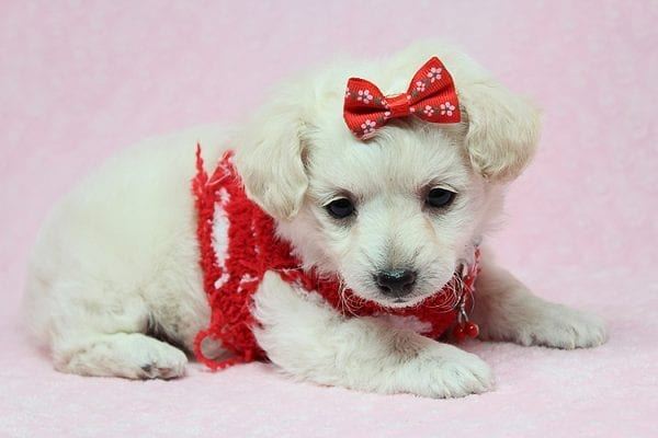 Eleanor - Teacup Maltipoo puppy in Los Angeles Las Vegas