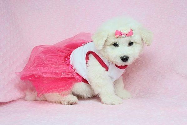 Emma - Toy Maltipoo puppy in Los Angeles Las Vegas