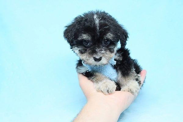 Ethan - Teacup Yorkipoo Puppy in Los Angeles Las Vegas