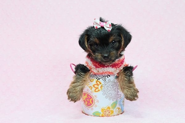 Eye Candy - Teacup Yorkie Puppy