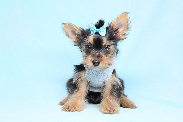 vFederer - Teacup Yorkie Puppy in Los Angeles Las Vegas
