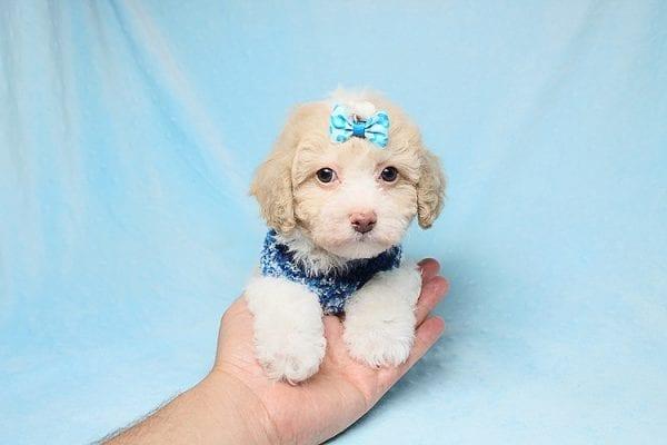 Guapo - Teacup Maltipoo Puppy in Los Angeles Las Vegas