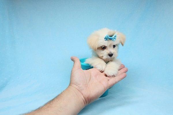 Jackpot Captain - Teacup Maltipoo Puppy in Los Angeles Las Vegas