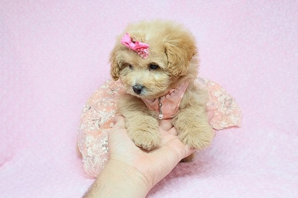 Kylie Jenner - Toy Maltipoo puppy in Los Angeles Las Vegas