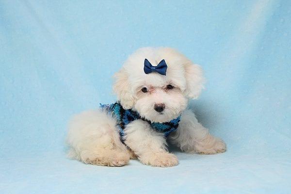 Lucas - Teacup Maltipoo Puppy in Los Angeles Las Vegas
