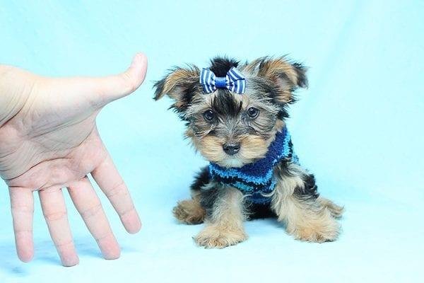 Nadal - Teacup Yorkie Puppy in Los Angeles Las Vegas1