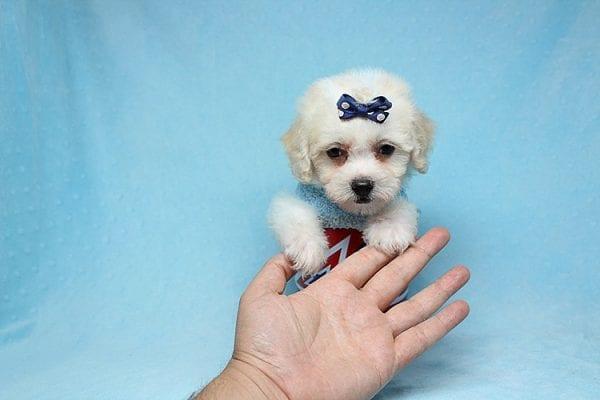 Nick Jonas - Teacup Maltipoo Puppy has found a good loving home with Inga from Palmdale, CA 93552-29715