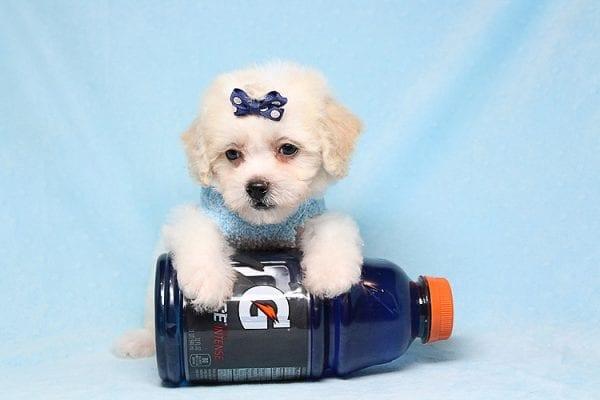 Nick Jonas- Teacup Maltipoo Puppy in Los Angeles Las Vegas