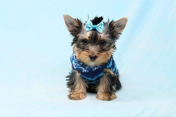 Prince Charming - Teacup Yorkie Puppy in Los Angeles Las Vegas