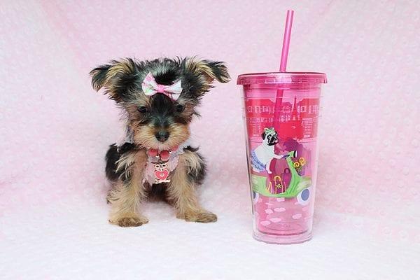 Queen Of Hearts - Teacup Yorkie Puppy in Los Angeles Las Vegas