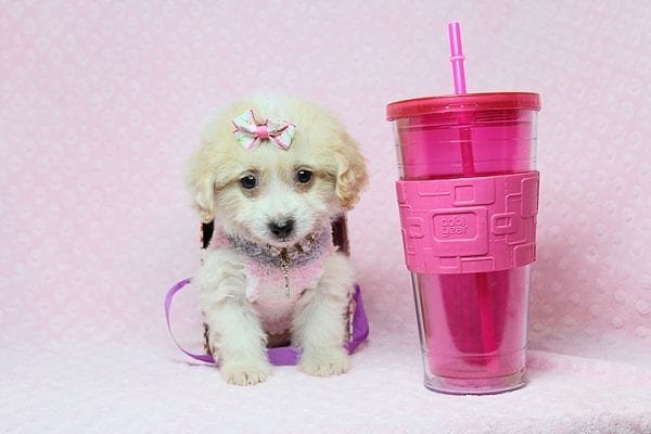 Sophia - Teacup Maltipoo Puppy in Los Angeles Las Vegas