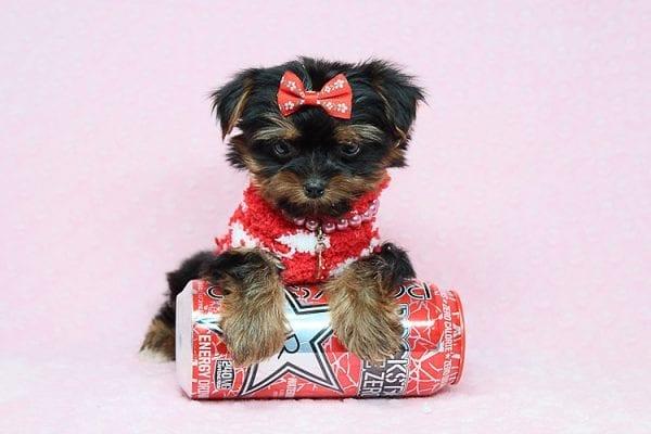 Strawberry Shortcake - Tiny Teacup Yorkie Puppy in Los Angeles Las Vegas