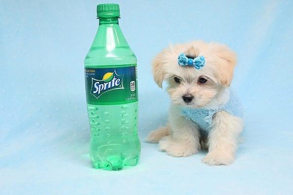 Superball - Teacup Maltipoo Puppy in Los Angeles Las Vegas6