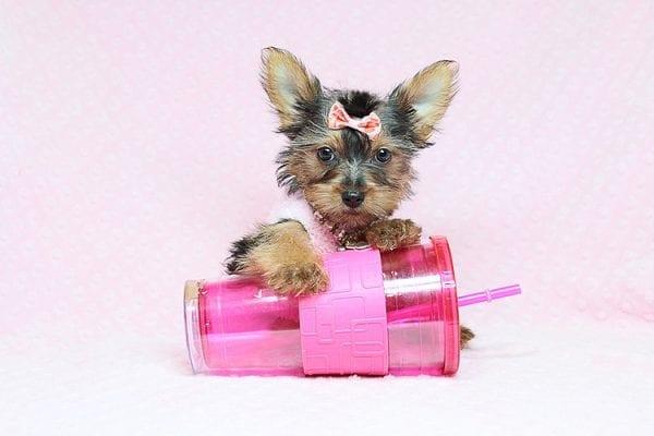 Sweeter Than Chocolate - Teacup Yorkie Puppy in Los Angeles Las Vegas