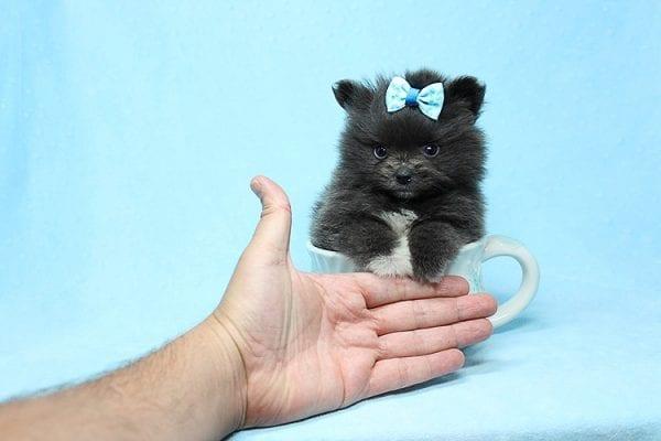 Testoni - Micro Teacup Pomeranian Puppy in Los Angeles Las Vegas