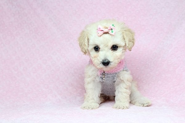 Luna - Teacup Maltipoo Puppy Found her New Loving Home with Nayeli From Sylmar CA 91342-31088