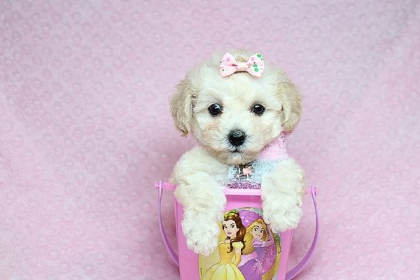 Luna - Teacup Maltipoo Puppy Found her New Loving Home with Nayeli From Sylmar CA 91342-31093