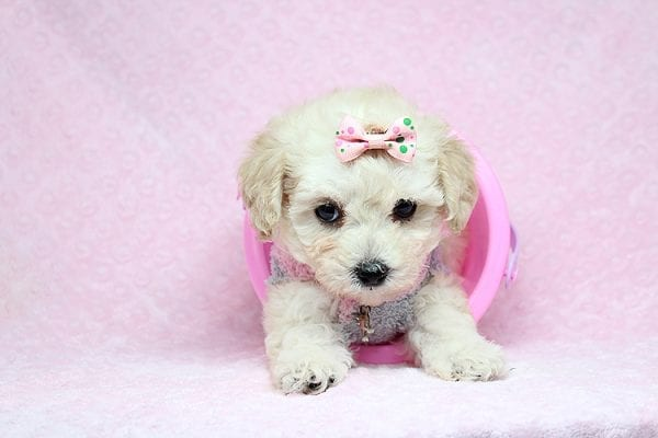Luna - Teacup Maltipoo Puppy Found her New Loving Home with Nayeli From Sylmar CA 91342-0