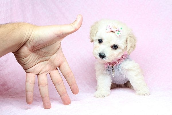 Luna - Teacup Maltipoo Puppy Found her New Loving Home with Nayeli From Sylmar CA 91342-31089