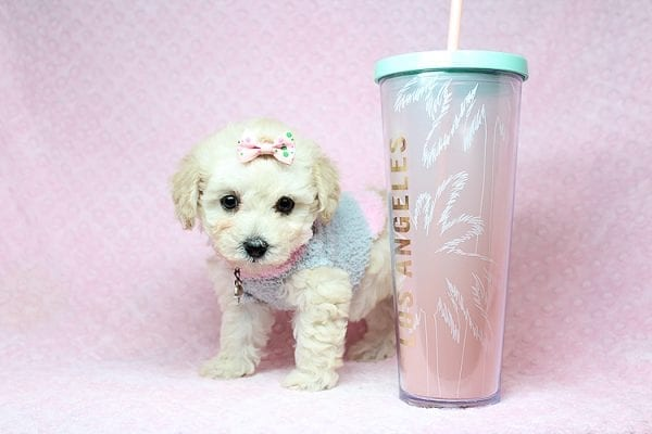 Luna - Teacup Maltipoo Puppy Found her New Loving Home with Nayeli From Sylmar CA 91342-31090