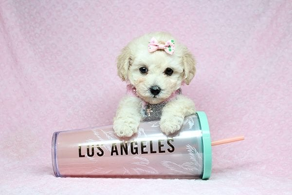 Luna - Teacup Maltipoo Puppy Found her New Loving Home with Nayeli From Sylmar CA 91342-31091