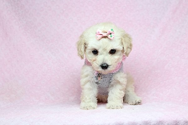 Luna - Teacup Maltipoo Puppy Found her New Loving Home with Nayeli From Sylmar CA 91342-31092