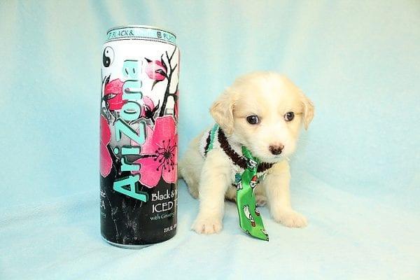 Pixel - Teacup Maltipoo Puppy