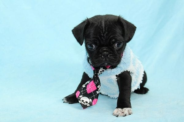 Bugsy - Teacup Pug Puppy