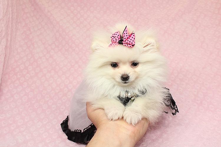 Pure Love - Micro Teacup White Pomeranian Puppy - Puppy Heaven - photo#44