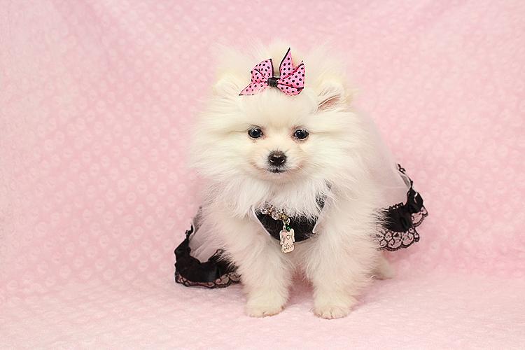 Pure Love - Micro Teacup White Pomeranian Puppy - Puppy Heaven - photo#41