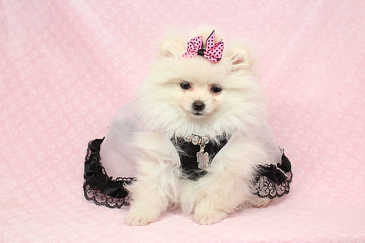 Pure Love - Micro Teacup White Pomeranian Puppy - Puppy Heaven - photo#33