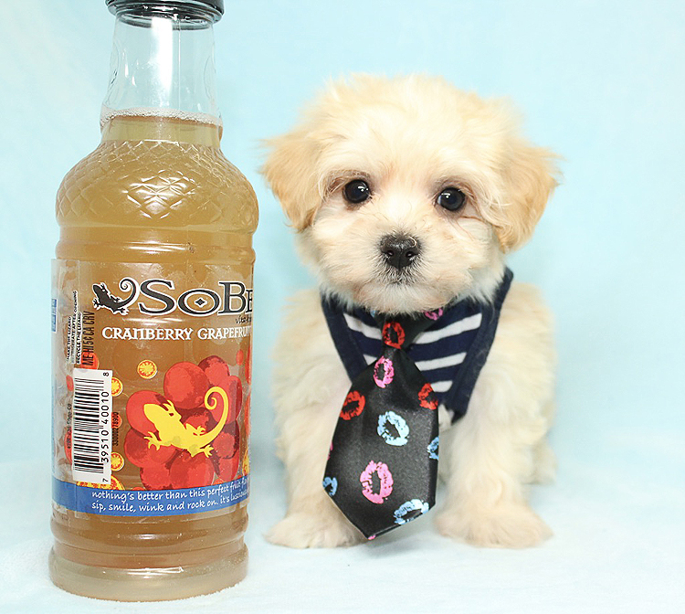 7-Up - Teacup Maltipoo Puppy Found His New Loving Home with Jarell from Long Beach CA 90803-0