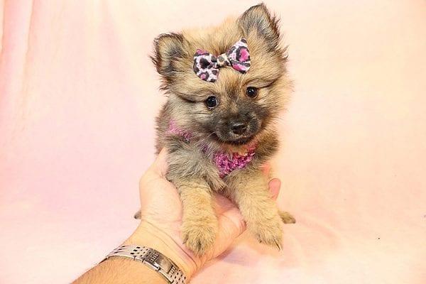 Malibu - Toy Pomeranian Puppy