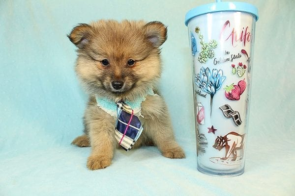 Song - Toy Pomeranian Puppy