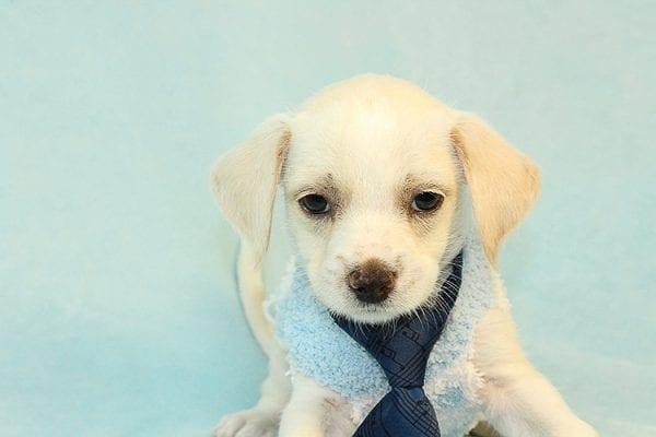 Lincoln - Toy Malchi Puppy