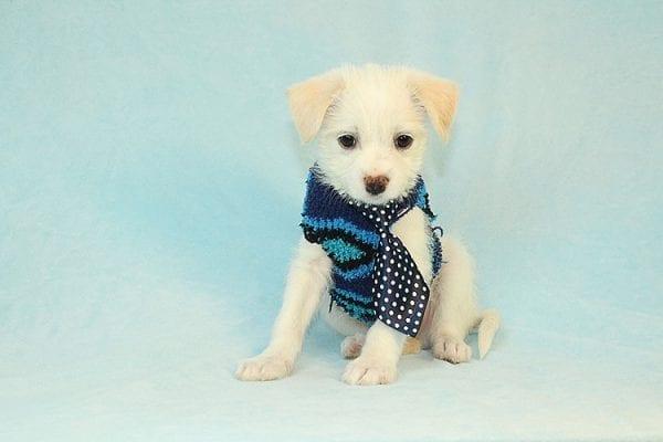 Pachanga - Toy Malchi Puppy