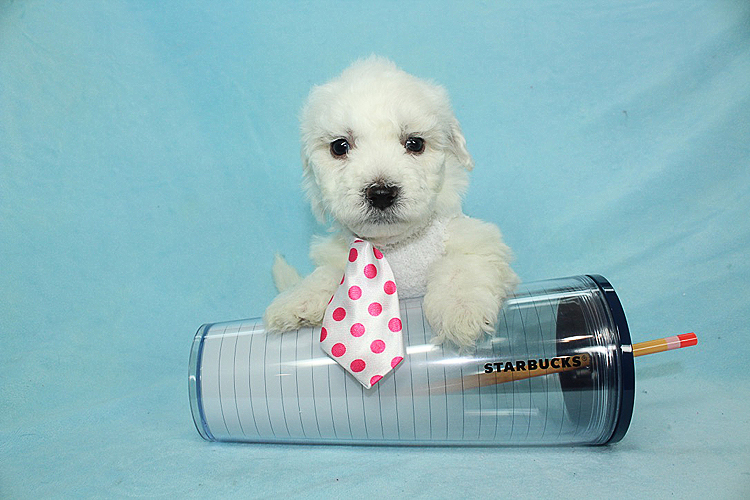 Abercrombie - Teacup Maltipoo Puppy has found a good loving home with Steven from Anaheim Hills, CA 92807-0