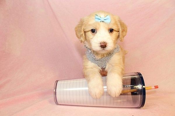 Jade - Toy Maltipoo Puppy