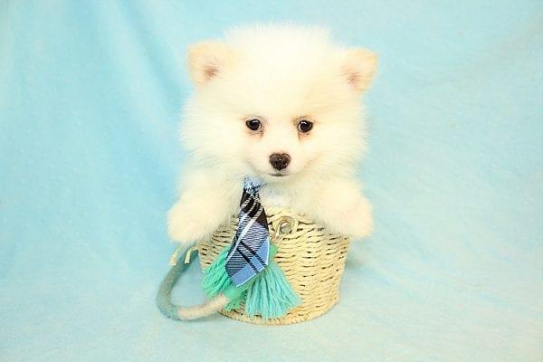 Neil Armstrong - Teacup Pomeranian Puppy