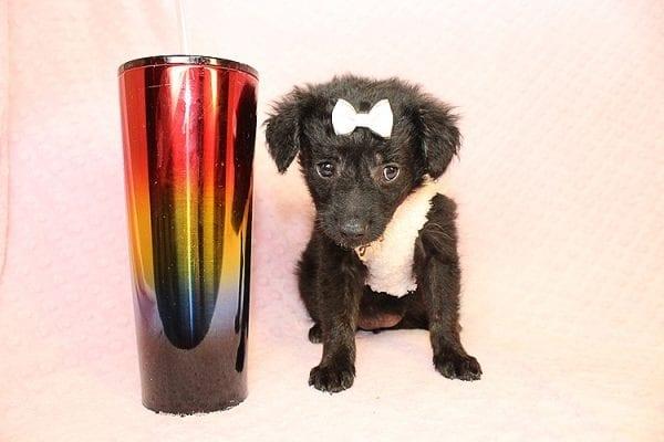 Rainbow - Toy Malshi Puppy