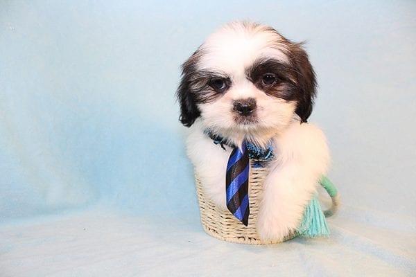 Agassi - Toy Shihtzu Puppy