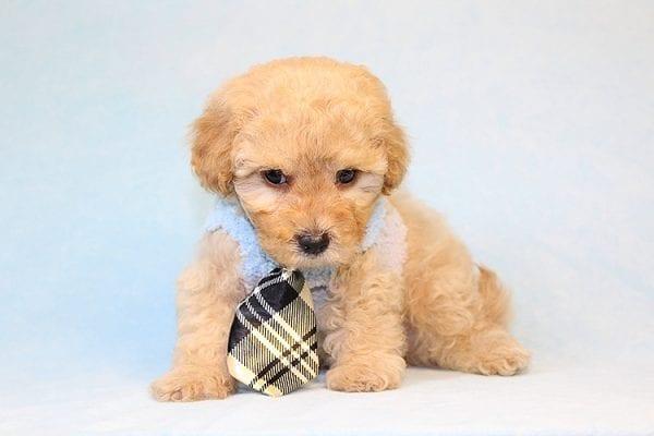 Pete Sampras - Teacup Maltipoo Puppy